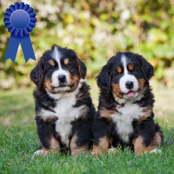 Coming Soon - Champion Bloodline Litter 1