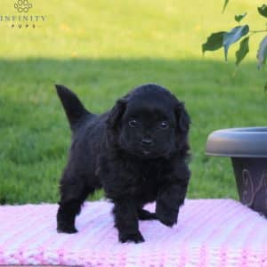 Pomapoo Puppies For Sale 2