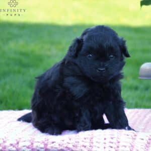 Pomapoo Puppies For Sale 1