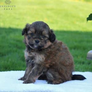 Pomapoo Puppies For Sale 3
