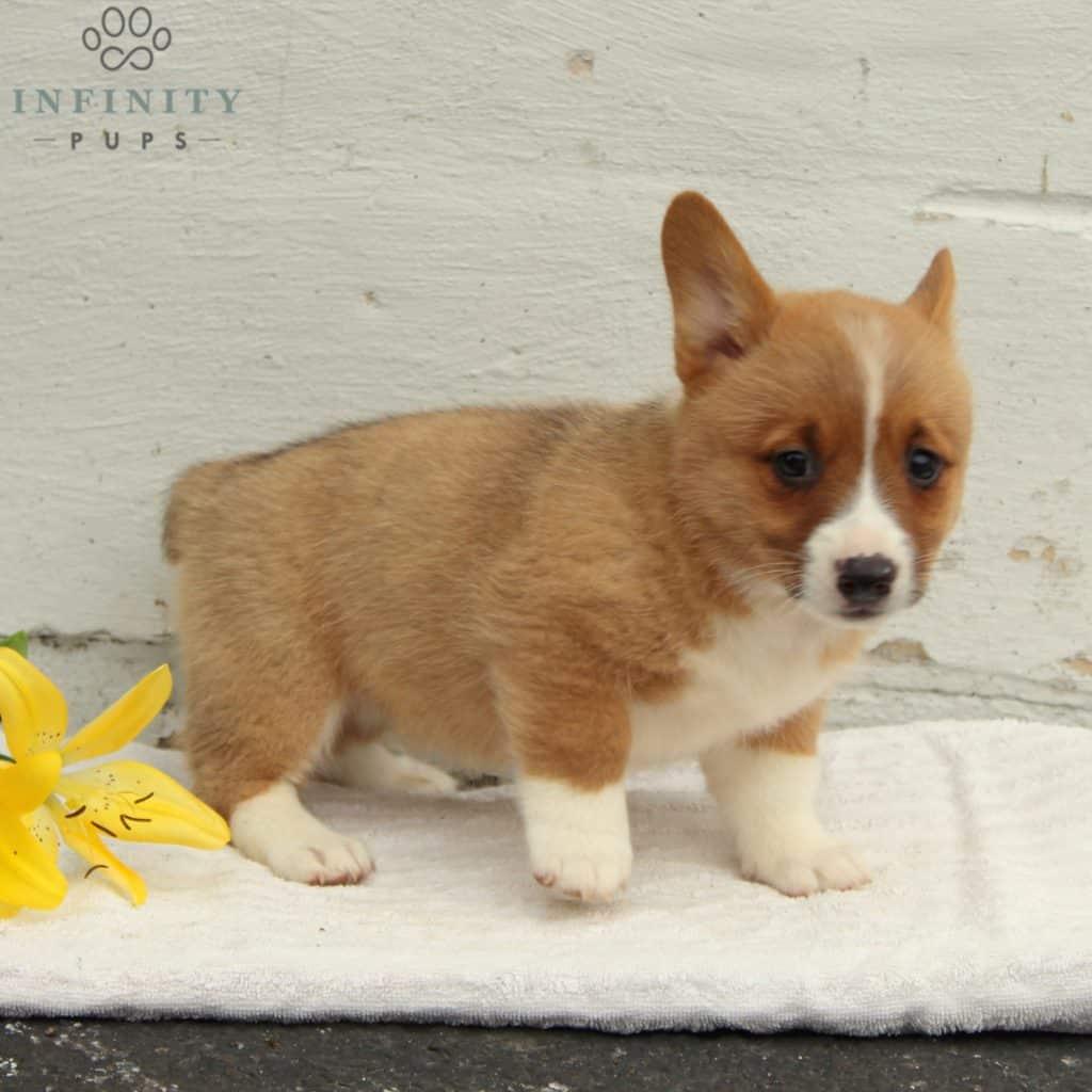 Sandy - ACA • Infinity Pups
