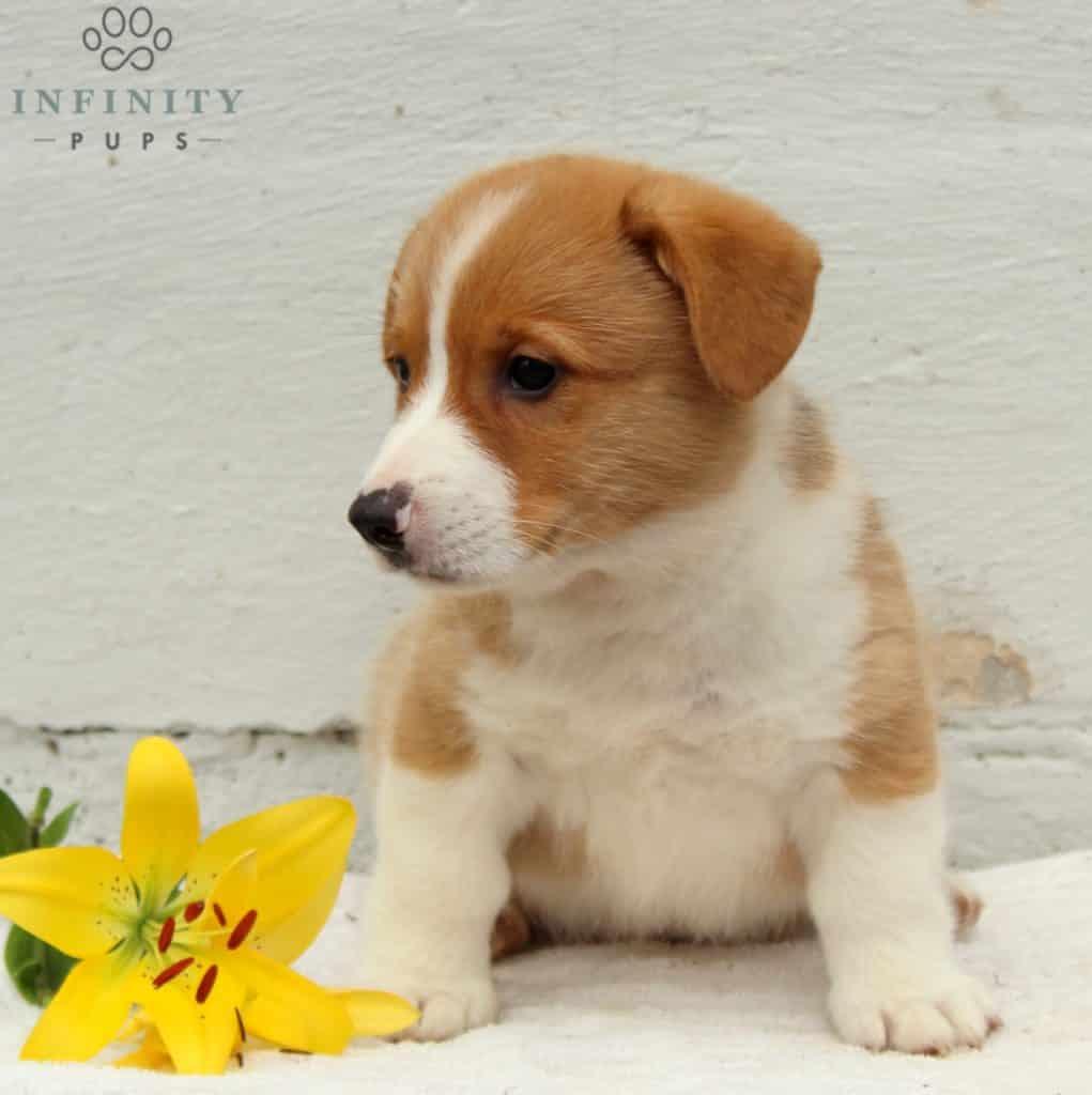 Kevin - ACA • Infinity Pups